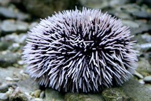 Wat is een Sea Urchin Sting Remedy?